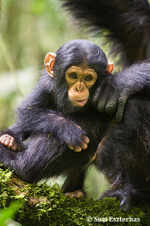 Chimpanzee Pan troglodytes 6 month old infant  Tropical forest, Western Uganda