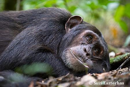 Chimp32