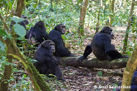 Chimpanzee Taxonomy Chimpanzees | The Ngog...