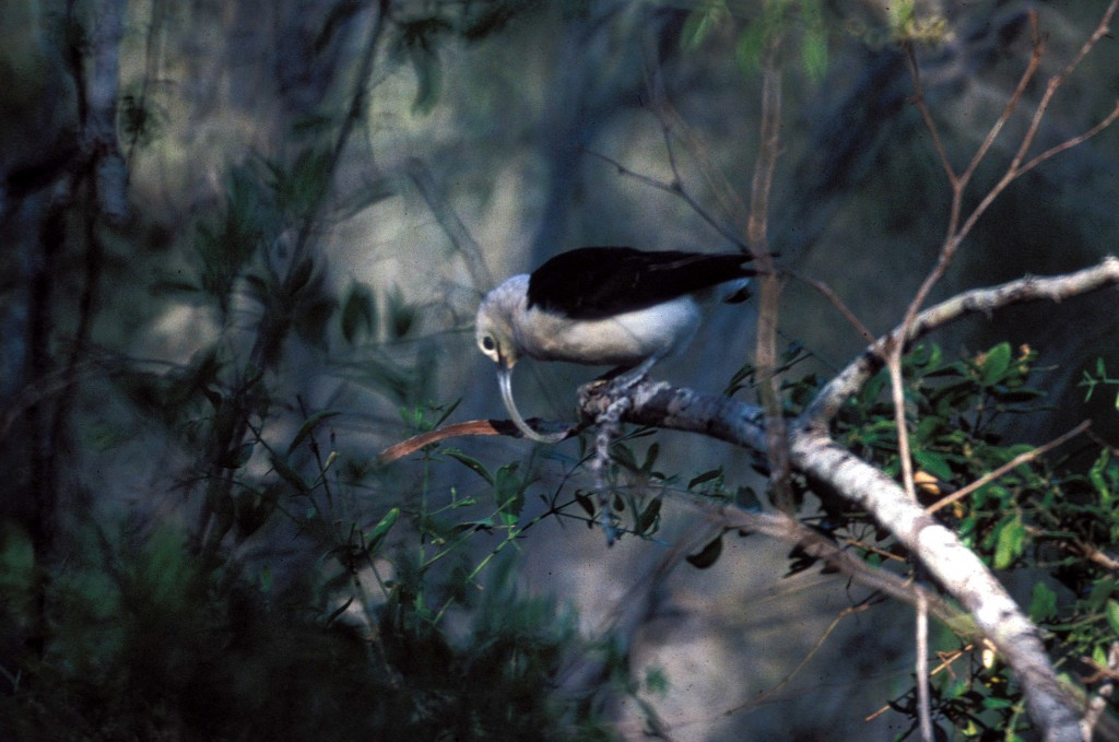 Sicklebill Vanga foraging at Beza