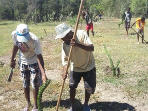 Community restoration: planting of Alluaudia