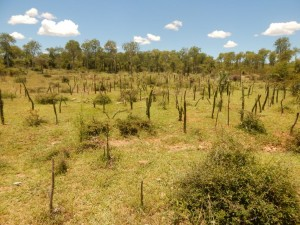 2-alluaudia reforestation