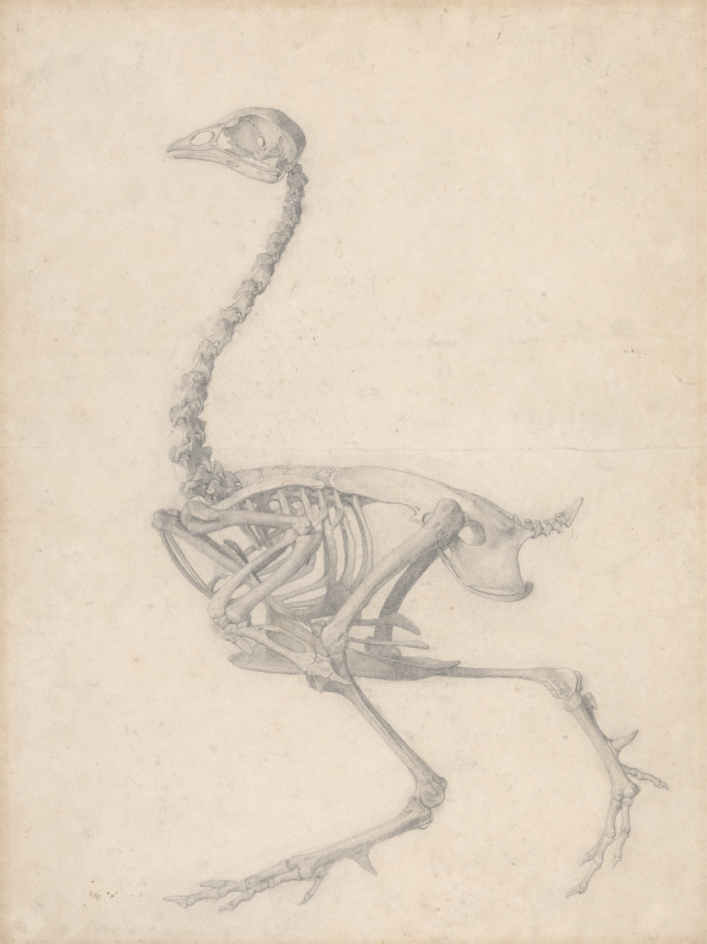 George Stubbs. Fowl Skeleton, Lateral View (Finished Study for Table V).