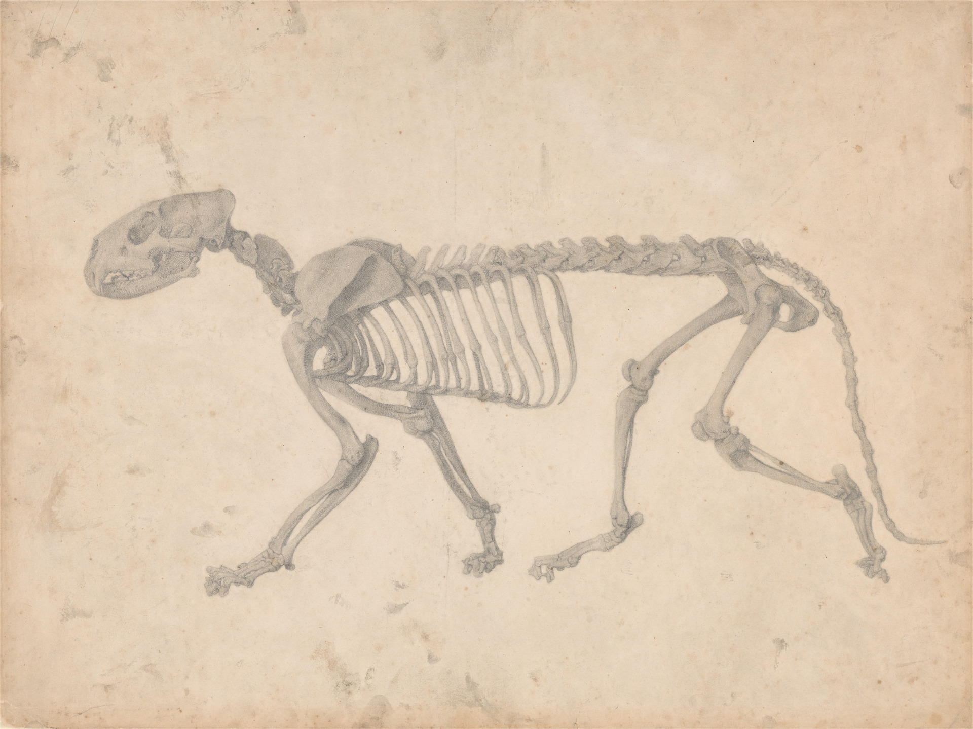 George Stubbs. Tiger Skeleton, Lateral View (Finished Study for Table IV).