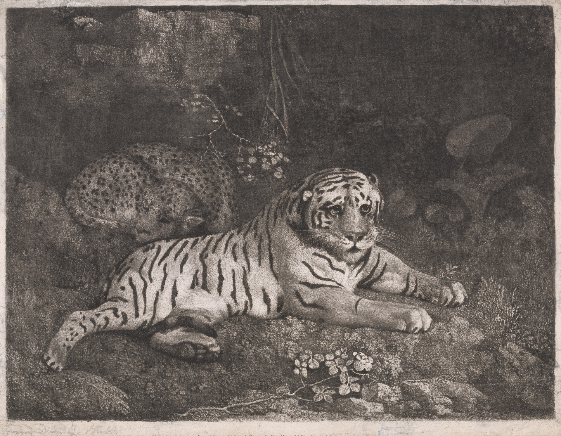 Print made by George Stubbs. A Tiger and a Sleeping Leopard. 1788.