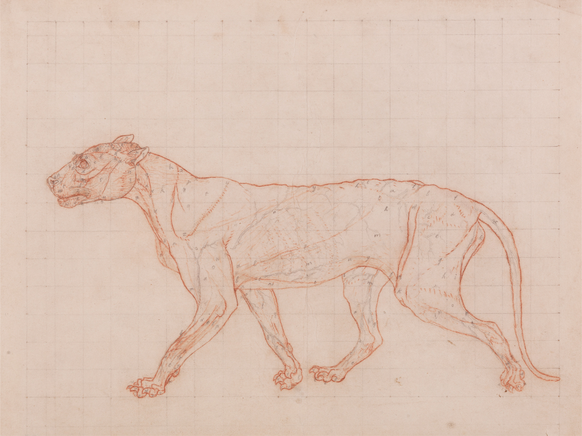 George Stubbs. Tiger Body, Lateral View.