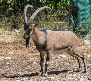 Kri-kri is a type of wild goat that lives on the island of Crete.