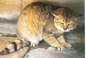 Cretan wildcats live on the island of Crete.