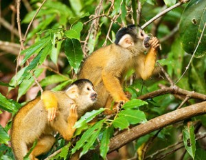 Monkeys in the Amazon Courtesy of Angelo DeSantis/ Flickr Creative Commons