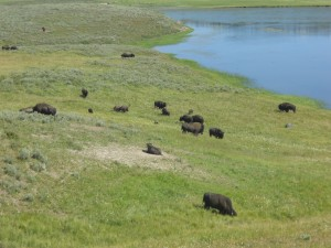 Bison scattered along the landscape of Yellowstone National Park. Photo courtesy of Madeline Hirshan.