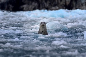 Harbor seal pokes his head out above the icy water. Photo courtesy of sixdegreesbelowthehorizon/ Flikr Creative Commons