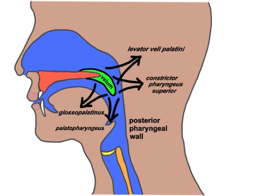 La terapia del habla para la fisura del paladar: Evaluación y tratamiento – ASHA 0.4 CEU Self-Study Course