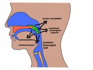 Anatomia Cavidad Oral de Perfil