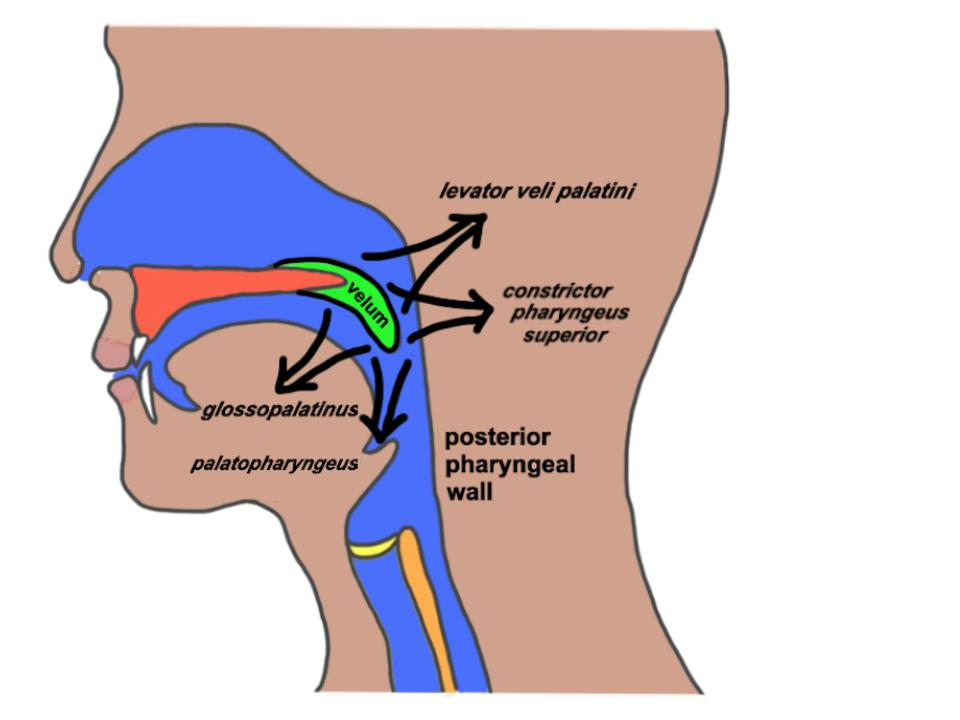 Anatomía y Fisiología del Mecanismo Velofaríngea | LEADERSproject