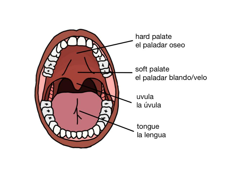 Famoso Anatomía Del Paladar Embellecimiento - Anatomía y Fisiología ...