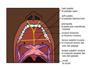 La Cavidad Oral Paladar Reparado