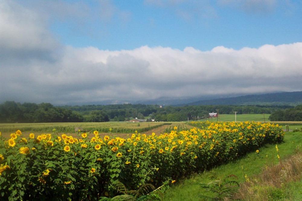 Photo of sunflowers on the WallKill, New Paltz, NY