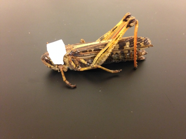 Schistocerca Americana grasshopper fitted with designed saddle.