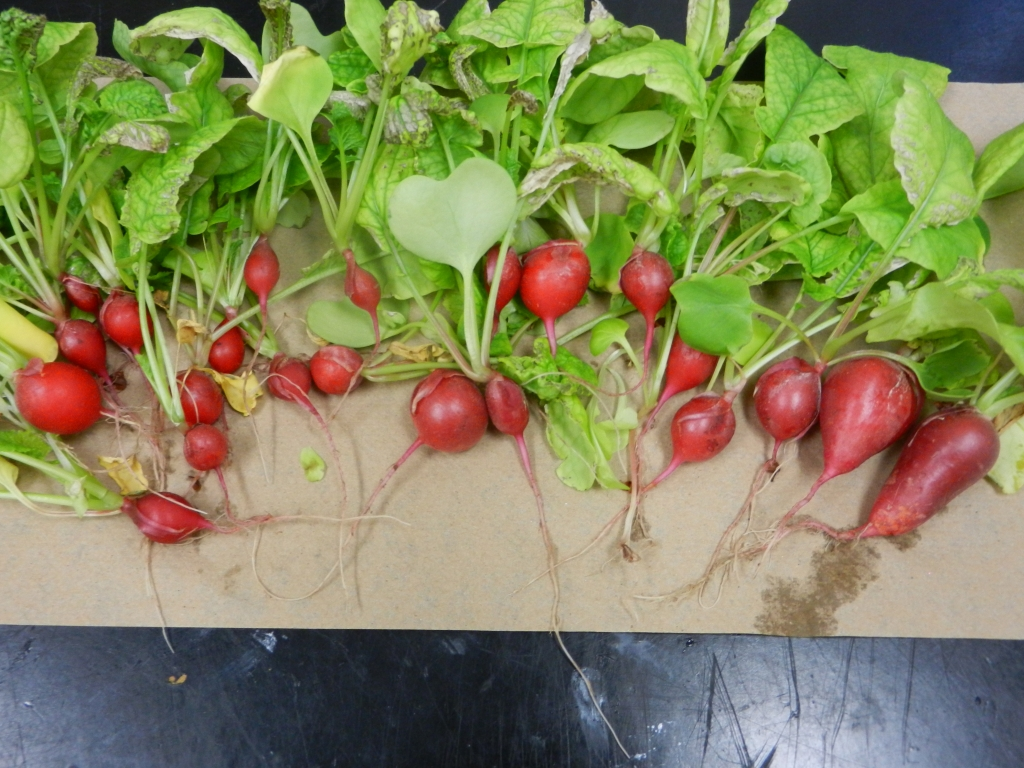 The crop of radishes harvested from the system