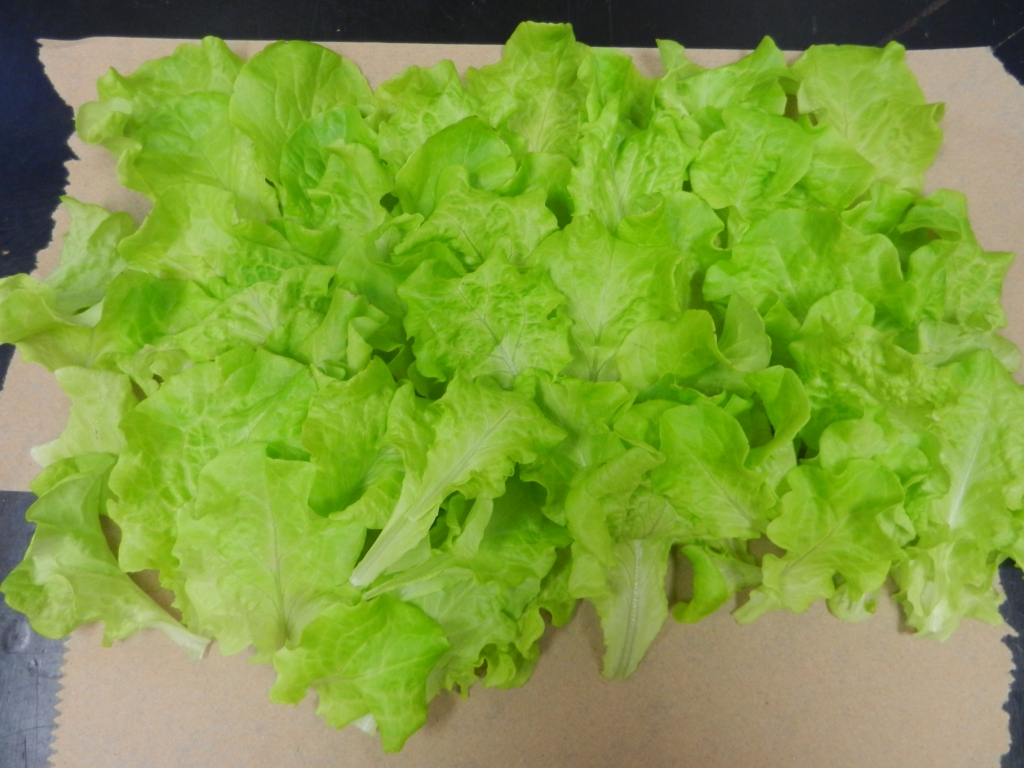 The lettuce harvested from the system in November 2014