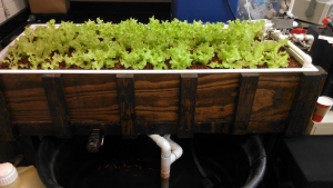 The grow bed filled with lettuce.
