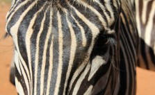 A Hartman's zebra waiting for food.