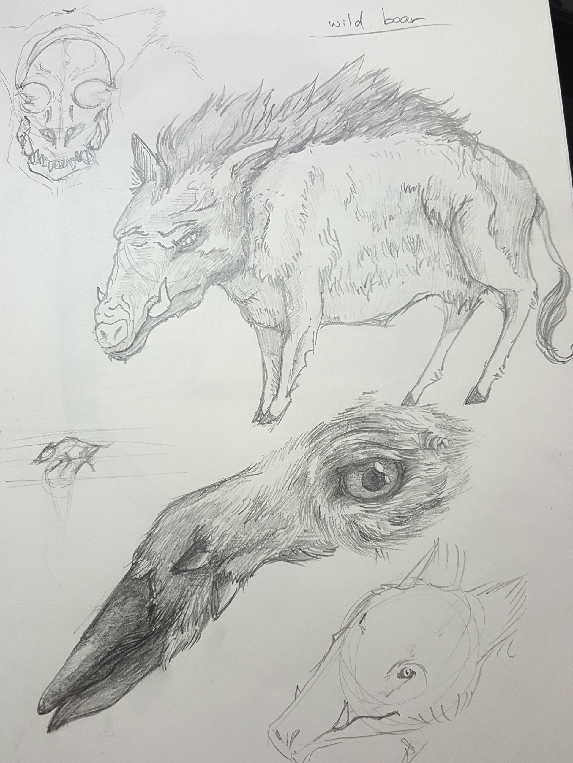 Boar / animals