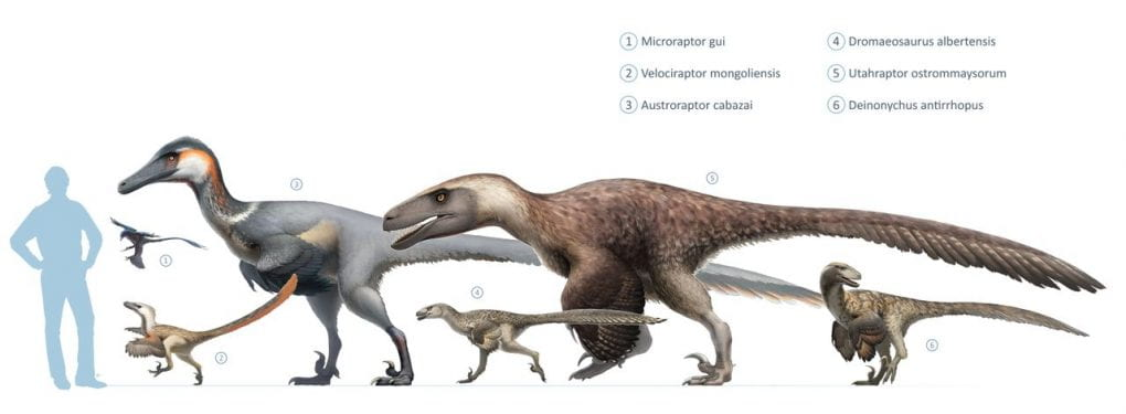 Dromaeosaur size comparison