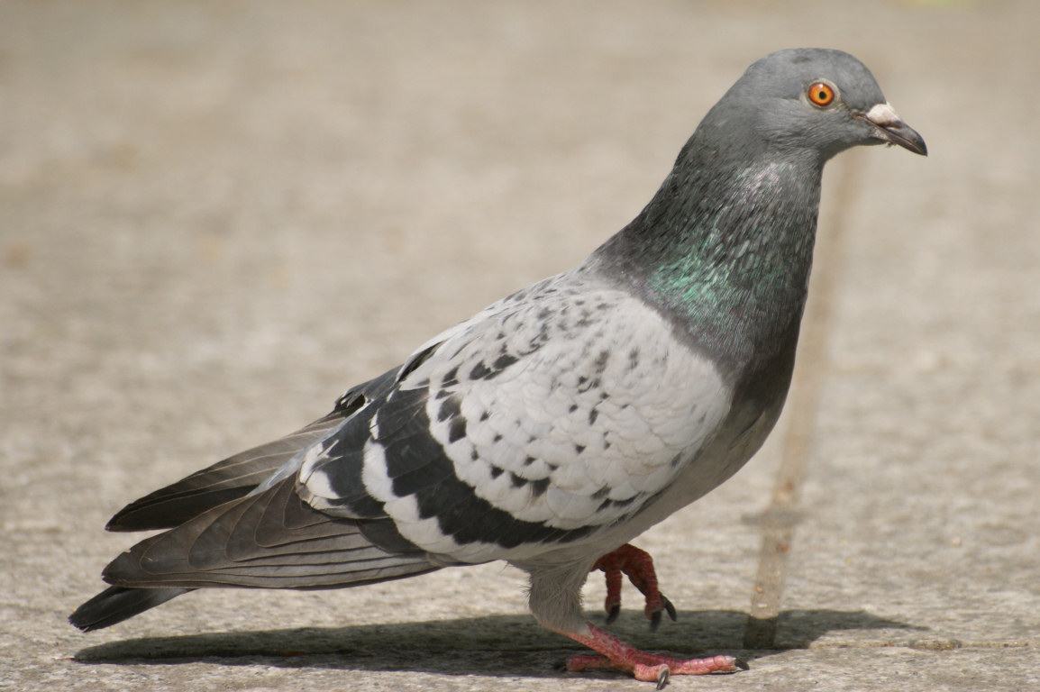 Urban Ecology Project: Feral Pigeons
