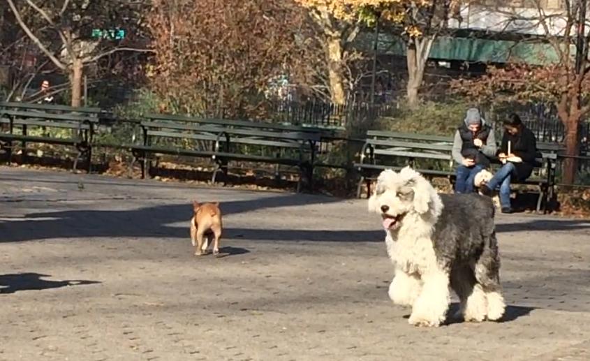 Goliath @ Dog Park