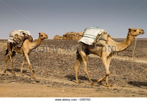 camel-caravan-carrying-salt-from-the-mines-in-dallol-danakil-depression-cr5t83
