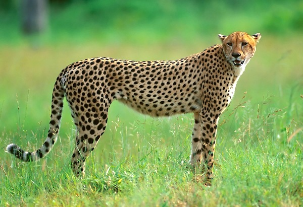 cheetah_facts