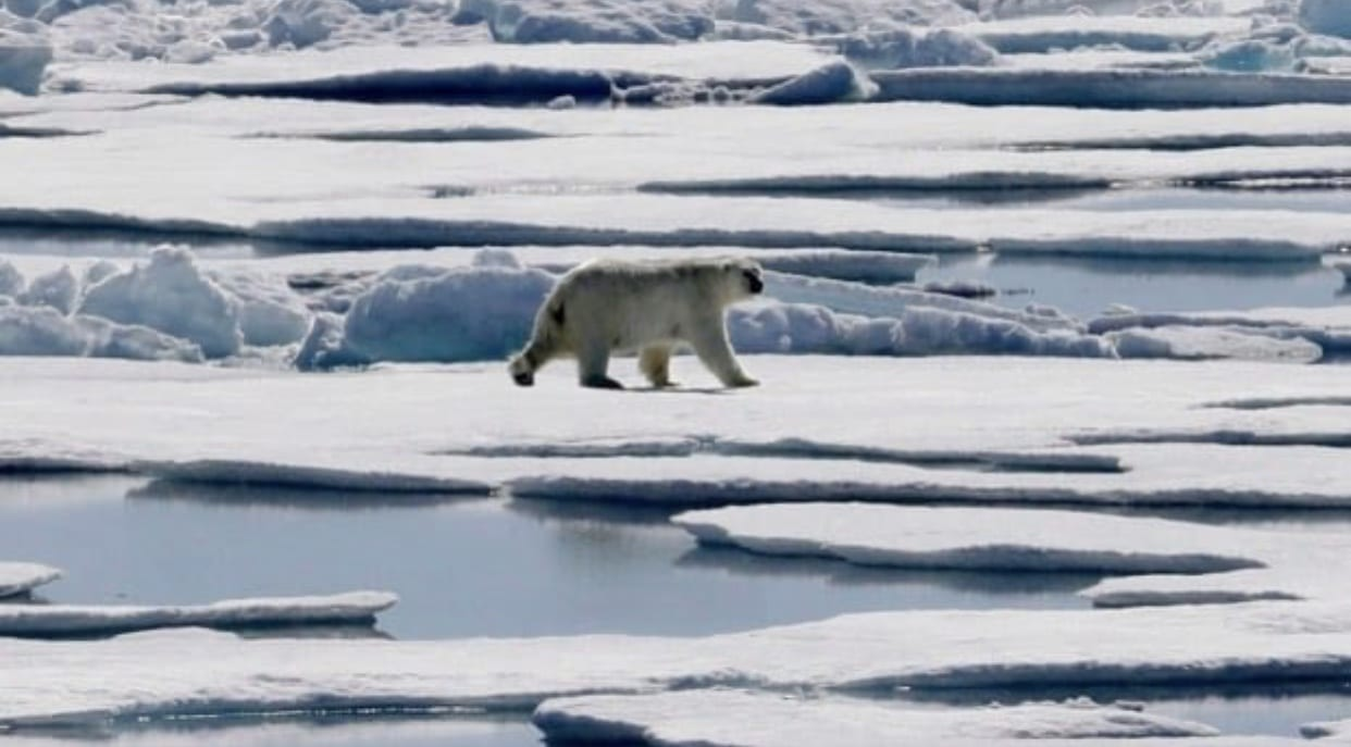 Polar bears in North are getting into more garbage #Sustainable system