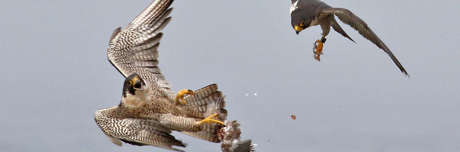 Predatory Bird Research Group