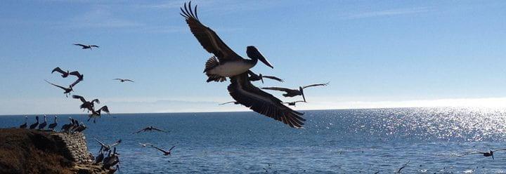 Look, pelicans!