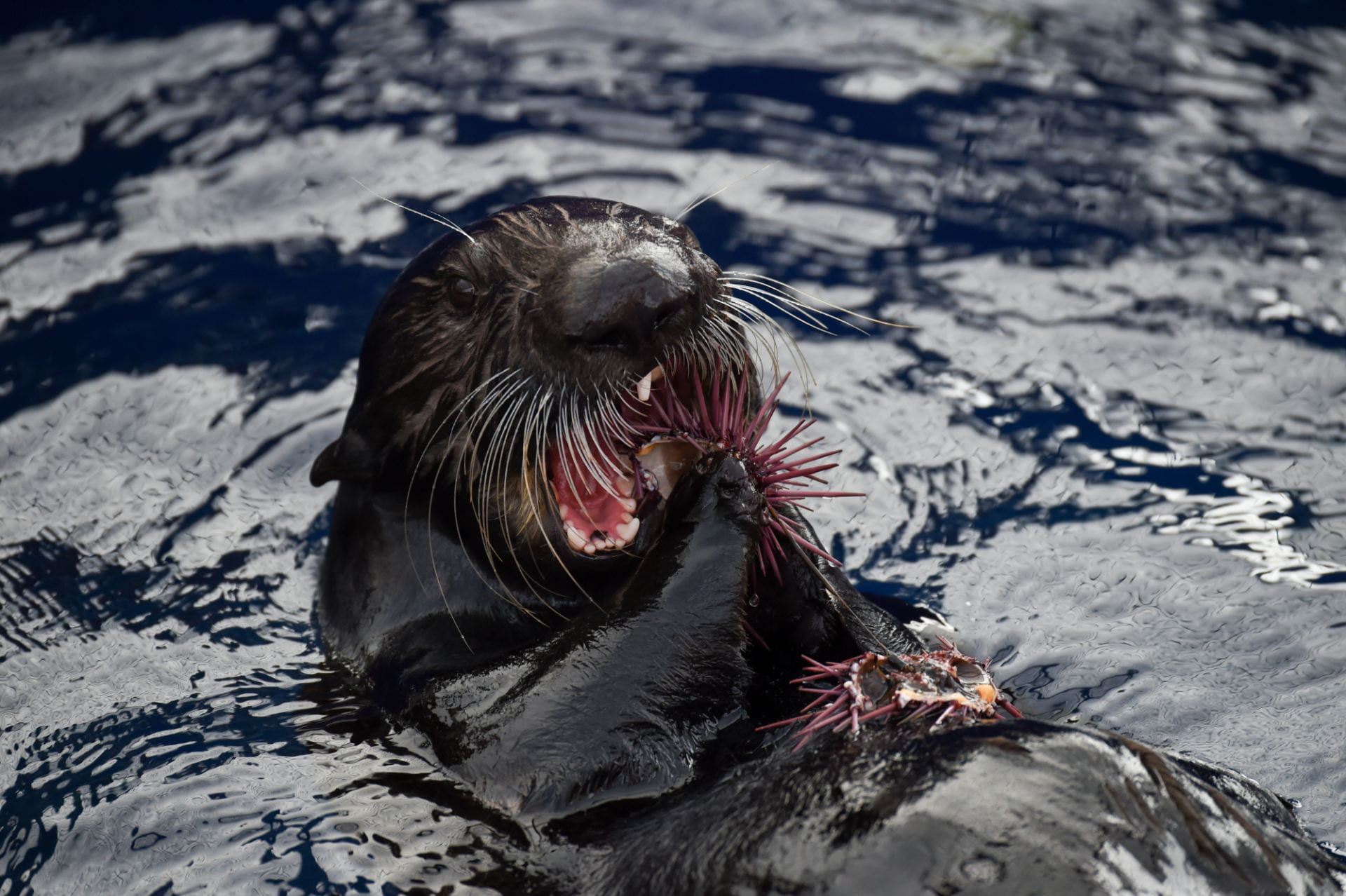 Sea otters maintain remnants of healthy kelp forest amid sea urchin barrens