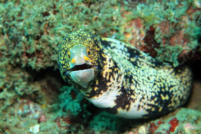 Snowflake morays can feed on land
