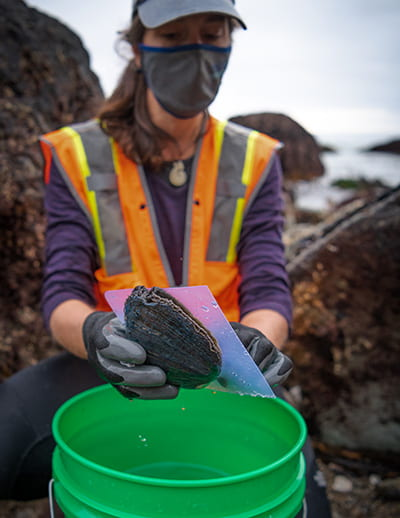 Researchers rescue endangered black abalone buried by debris flows