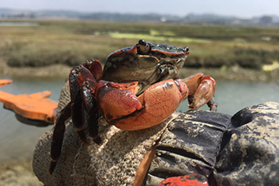 Salt marsh resilience compromised by crabs along tidal creek edges
