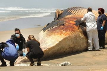 Scientists study why whales are being killed by cargo ships, and how to protect them