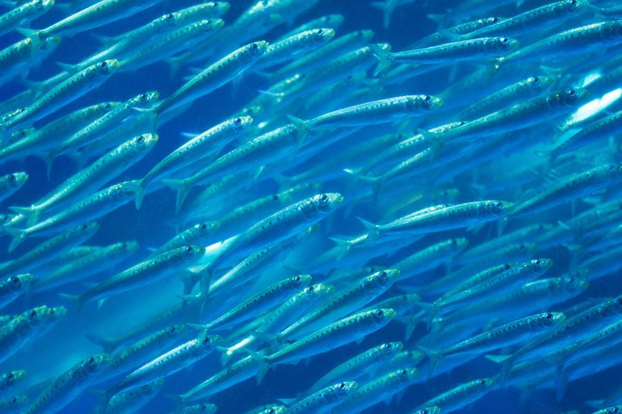 Pacific Sardine Landings May Shift North as Ocean Warms, New Projections Show