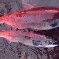 Sockeye salmon side by side