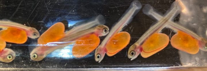 Group of Chinook salmon fry