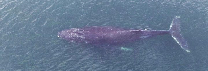 Top view of a humpback whale in Monterey Bay
