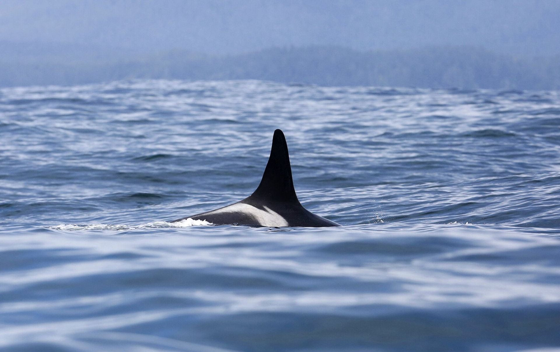 Record heat, drought threaten even the toughest survivors: L25, the oldest orca, and the winter Chinook she depends on