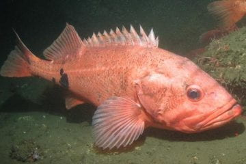 Protecting Largest, Most Prolific Fish May Boost Productivity of Fisheries, New Research Finds