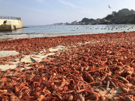 Unusual Currents Explain Mysterious Red Crab Strandings