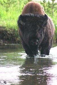 YellowstoneBuffalo