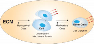 Cell mechanics-related image.
