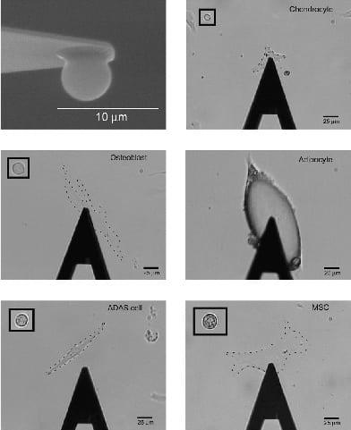 AFM testing of live cells